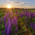 Sunset Over Meadow Of Lupine by Maya Afzaal
