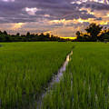 Sunset Rice Fields In Cambodia by Mike Reid