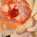 Sunset Rose by Carol Groenen