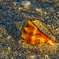 Sunset Seashell by Lindley Johnson
