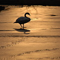 Sunset Swan by Richard Bryce and Family