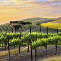 Sunset Vineyard by Sharon Foster