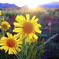 Sunsets And Sunflowers In Buena Vista by Lora Louise