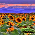 Sunsets And Sunflowers by Scott Mahon