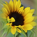 Sunshine Beauty - Sunflower by Dora Sofia Caputo Photographic Design and Fine Art