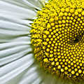 Sunshine Daisy by Ryan Kelly