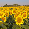 Sunshine Flower Field by Crystal Nederman