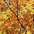 Sunshine In Maple Tree by Elena Elisseeva