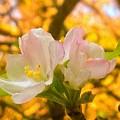 Sunshine On Apple Blossoms by Debra Lynch