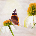 Sunshine On Red Admiral by Sharon McConnell
