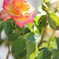 Sunshine Rose by Michelle Powell