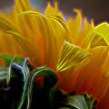 Sunshine Sunflower Petals Two by Mo Barton
