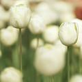 Sunsoaked Tulips #3 by Ponte Ryuurui