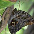 Superb Markings On An Owl Butterfly In A Garden by DejaVu Designs