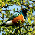 Superb Starling by David Morefield