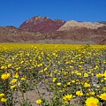 Superbloom In Death Valley by Tranquil Light Photography