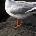 Suprised Australian Seagull by Jorgo Photography - Wall Art Gallery