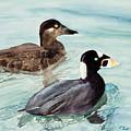 Surf Scoter Ducks by Laurel Best
