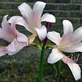 Surprise Lilies by James Pinkerton