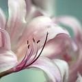 Surprise Lily Pink by Jim  Darnall