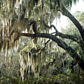 Surreal Gothic Savannah Georgia Trees With Hanging Spanish Moss by Kathy Fornal