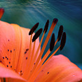 Surreal Orange Lily by Carol Groenen