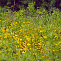 Susans In A Green Field by Randy Oberg