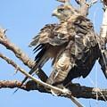 Swainson Hawk by Nicole Belvill