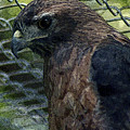 Swainson's Hawk by Maria Reverberi
