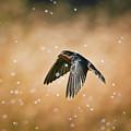 Swallow In Rain by Robert Frederick