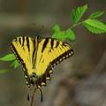 Swallow Tail Butterfly by John Ruggeri
