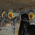 Swallows Opera  by Ernie Echols