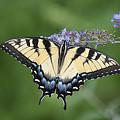 Swallowtail 20120723_24a by Tina Hopkins