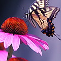 Swallowtail And Coneflower by Byron Varvarigos
