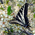 Swallowtail And Plum Blossoms by Karon Melillo DeVega