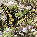 Swallowtail At Sand Wash by Debbie Rudd