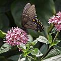 Swallowtail Buterfly by Sven Brogren