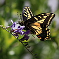 Swallowtail Butterfly 1 by Carol Groenen
