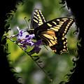 Swallowtail Butterfly 1 With Swirly Frame by Carol Groenen