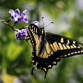 Swallowtail Butterfly 2 by Carol Groenen