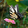 Swallowtail Butterfly 3 by Sue Melvin