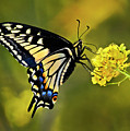 Swallowtail Butterfly by Armando Picciotto