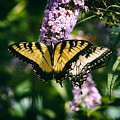 Swallowtail Butterfly At The Maryland Zoo by Bill Swartwout Fine Art Photography