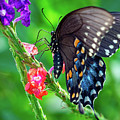 Swallowtail Butterfly by Brad Boland