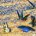 Swallowtail Butterfly Convention by Steve Harrington