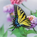 Swallowtail Butterfly by Esther Lane