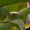Swallowtail Butterfly by Leanne Matson