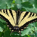 Swallowtail Butterfly by Liz Vernand