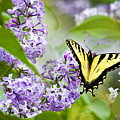 Swallowtail Butterfly On Lilacs by Christina Rollo