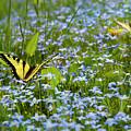 Swallowtail Butterfly by Robert Stein